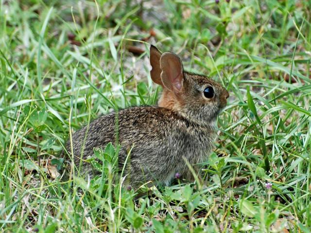 A baby wild rabbit | A half grown wild rabbit. Photo ...