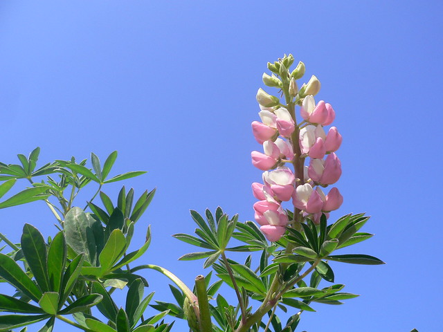 Lupine plant (Pianta di Lupino) | Lupin * Люпин * Lupino ...