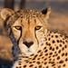 Cheetah_5657
