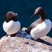 Razorbill and a Guillemot on the Isle of May