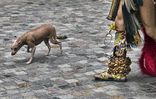 Xoloitzcuintli Ancient Breed Of Dogs Of The Aztecs Flickr