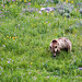 Grizzly in Yellowstone 2