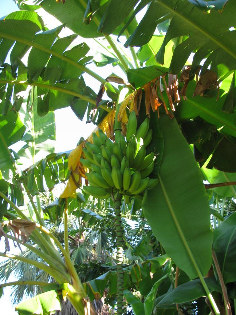 Bananas At Mckee Botanical Gardens Tania Flickr