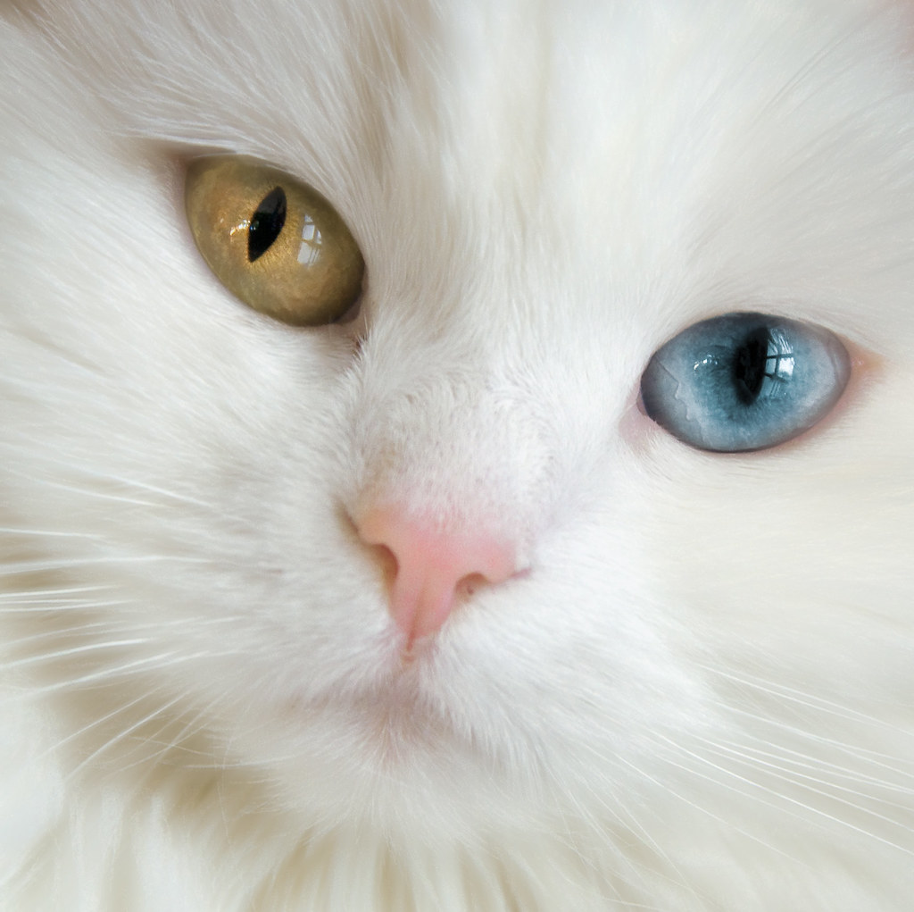 Cats With Gold Eyes Deaf