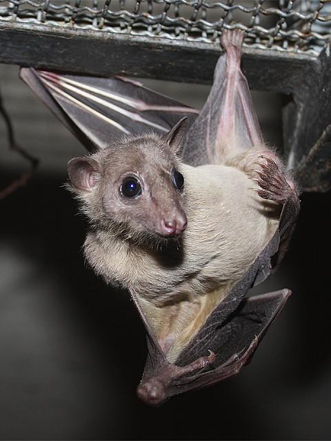 Terms Of Use >> Nilflughund / Egyptian Fruit Bat (Rousettus aegyptiacus ...