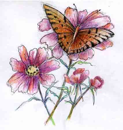 Butterfly on Coreopoes Colored Pencil Drawing | Photo ...