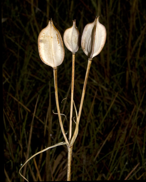white mariposa lily seed pods sego lily calochortus eur flickr