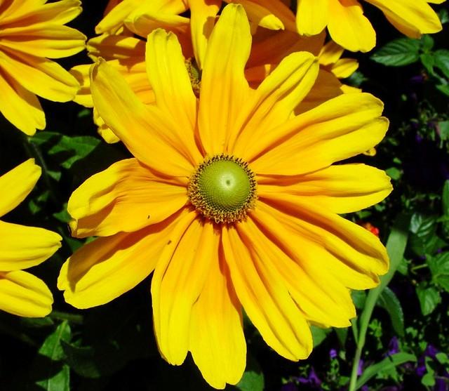 Yellow flower green center 71909 lita sandy flickr yellow flower green center 71909 by randomroadside mightylinksfo