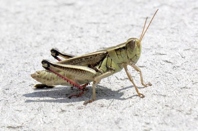 Grasshopper poop - photo#4
