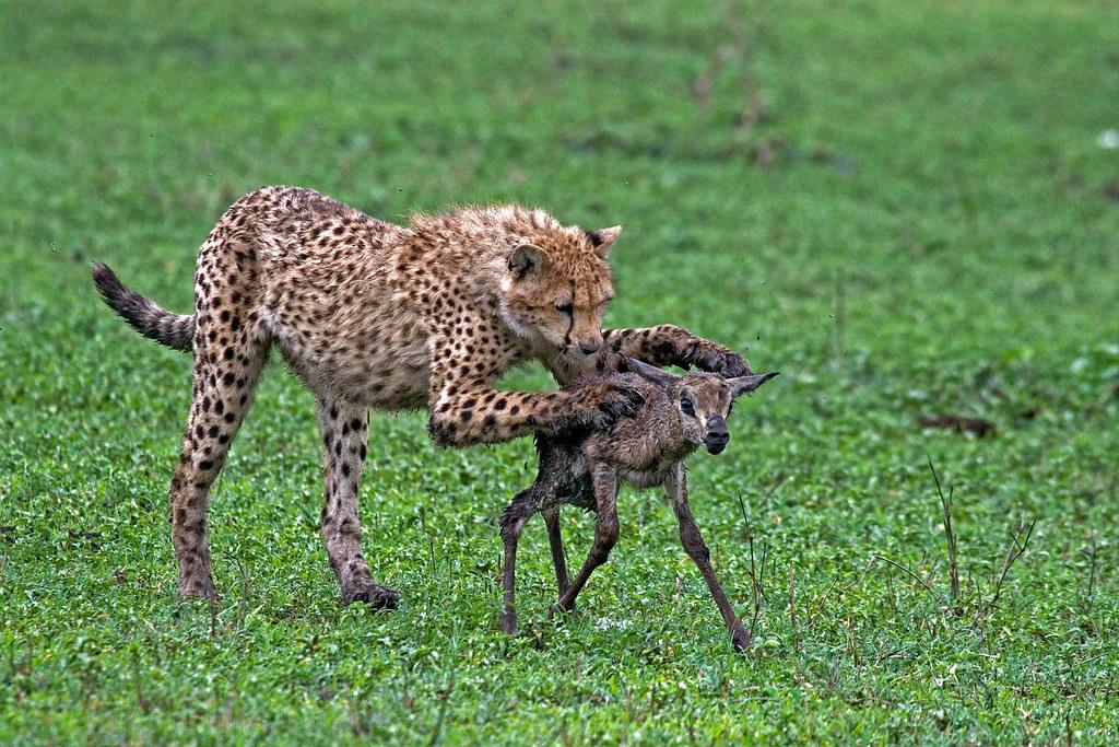 Baby Cheetah Hunting Baby Thompson Ndutu Ngorongoro