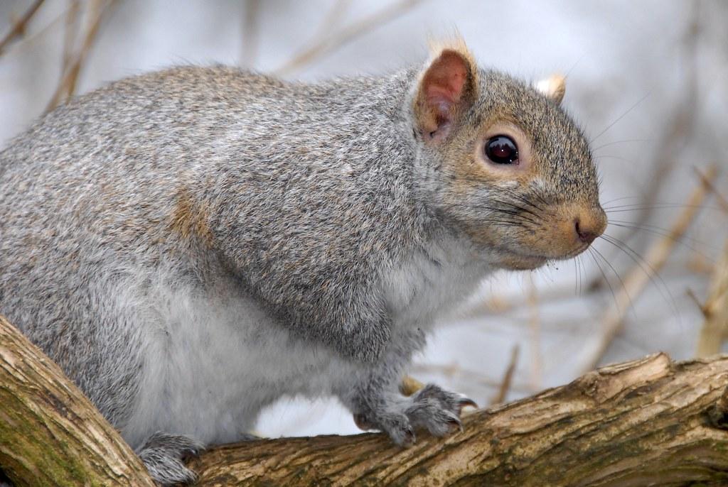 the eastern grey squirrel Natural history of sciurus carolinesis (eastern grey squirrel) order: rodentia suborder: sciurognathi family: sciuridae tribe: sciurini subtribe: sciurina.