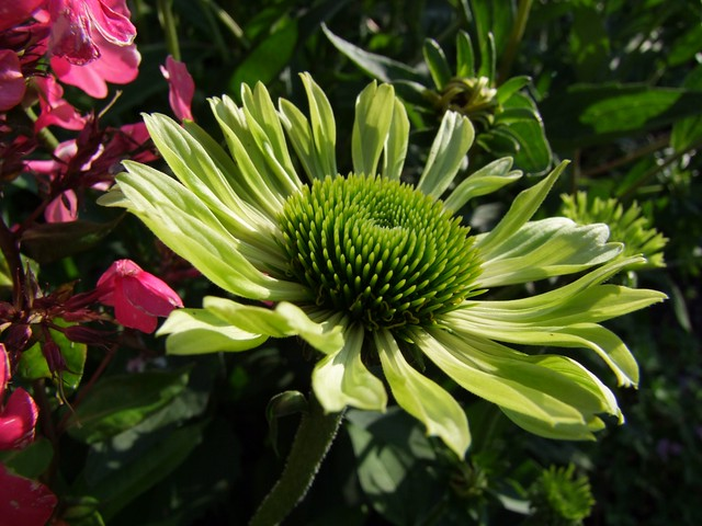 echinacea green envy sylvia mayer flickr. Black Bedroom Furniture Sets. Home Design Ideas