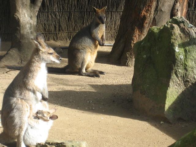 mama and baby kangaroo - photo #22