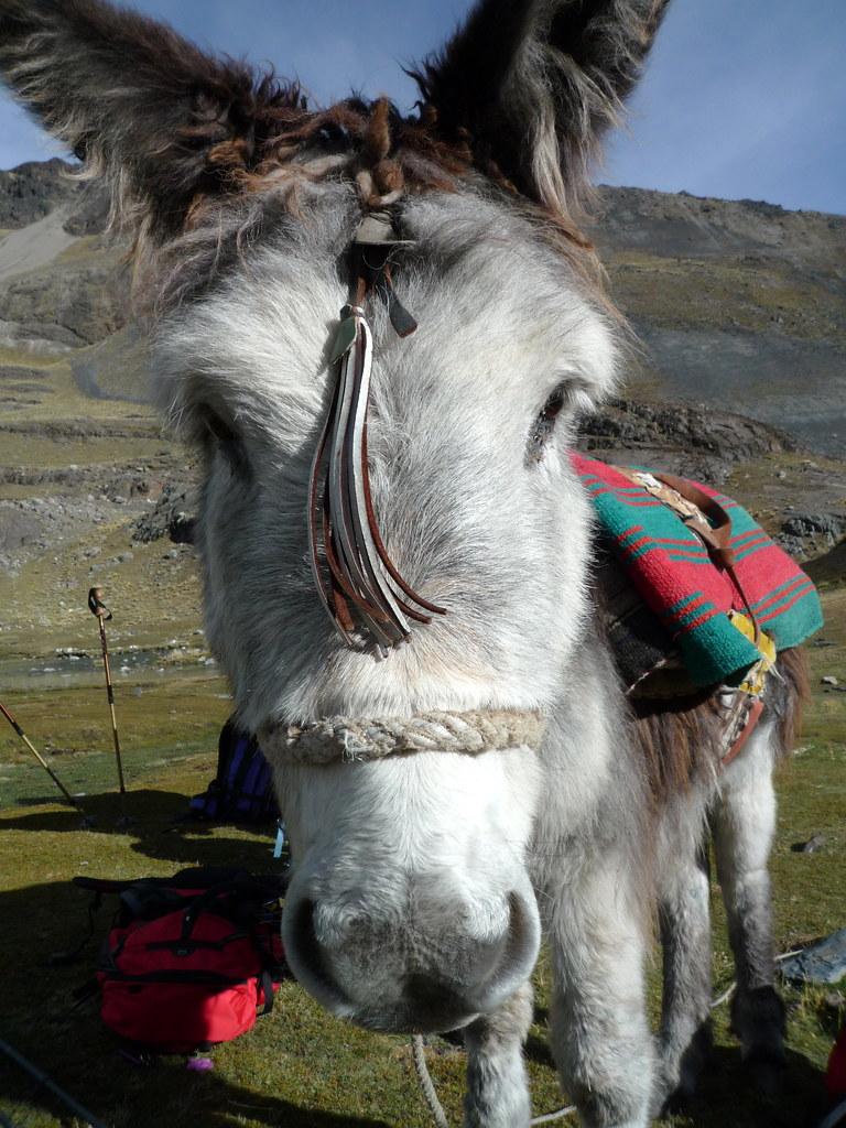 Mula boliviana les lamas portent des charges ridicules d 39 flickr for Portent jobs