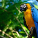 Parrot (Blue and Yellow Macaw)