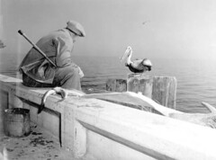 Pelicans try to steal fish from Robert Putnam: Saint Petersburg, Florida | by State Library and Archives of Florida