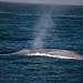 90-100' Blue Whale (Balaenoptera musculus) a Baleen Whale - Santa Barbara, CA - from a set of 7 photos
