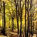 SacroMonte, golden forest