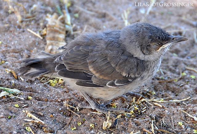 how to help fledgling bird