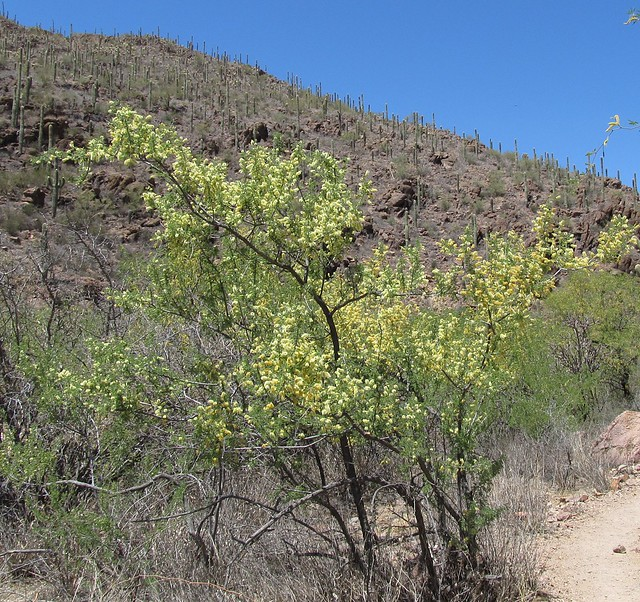 Acacia Greggii (Catclaw Acacia) More Below