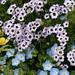 "Gilia tricolor & Nemophila ""Baby Blue Eyes"""