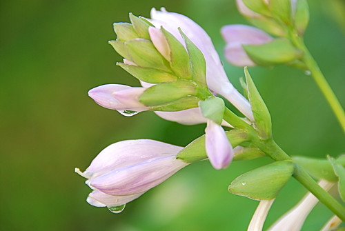 Hosta Drops | by Greg B Photography