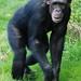 Chimpanzee.-Pan Troglodytes