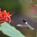 Ruby Throated Hummingbird !!