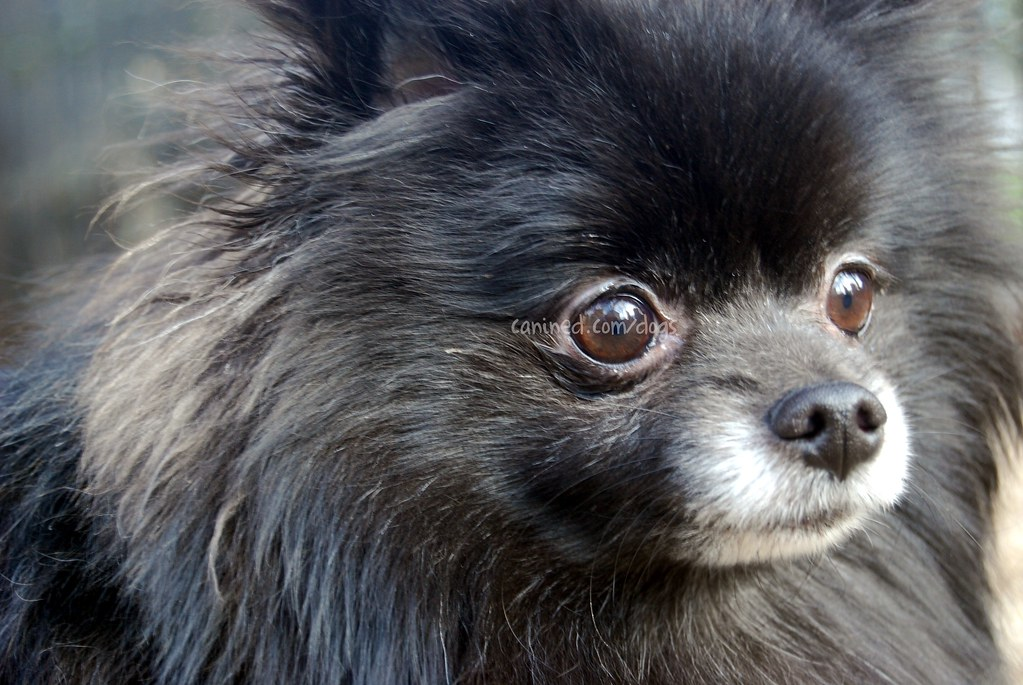 canined small black pomeranian toy dog picture 29 | Share yo ...