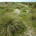 Carex extensa (Long-bracted Sedge / Kwelderzegge) 0231