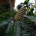 Pineapple Clone