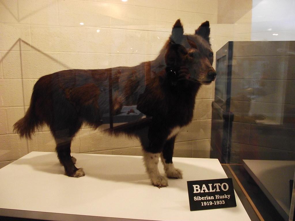 The Real Balto Taken At Cleveland Natural History Musuem