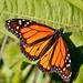 Butterfly-1105