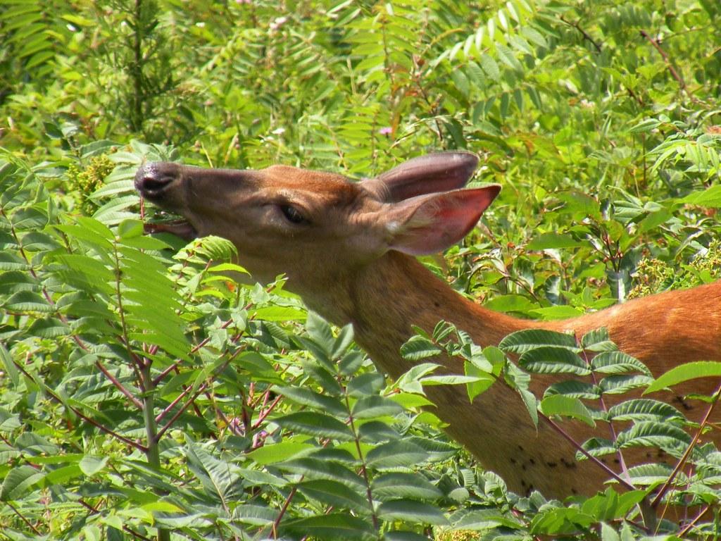 Deer In Shenandoah National Park Blue Ridge Mountains Usa Flickr