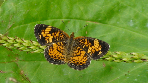 Pearl Crescent | by FlaPack