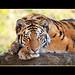 Posing young tiger II