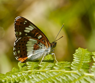 WHITE ADMIRAL | by tony.cox27