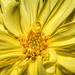 Yellow Dahila