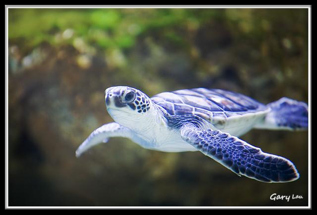 Sea turtle baby Sea turtle baby - Taken at Hong Kong Wetla ...