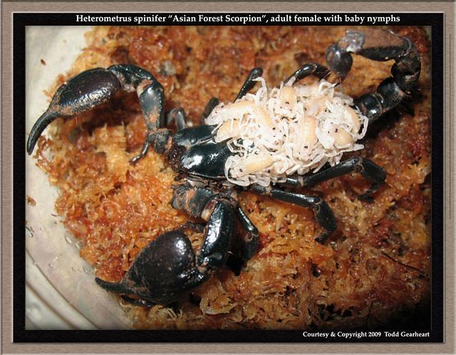 H Spinifer Scorpions H.spinifer(f)ny...