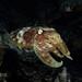 Giant Cuttlefish - Palau