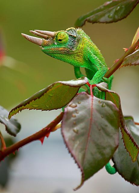 Jackson's Chameleon | Kula, Maui, BBMaui. | BBMaui | Flickr