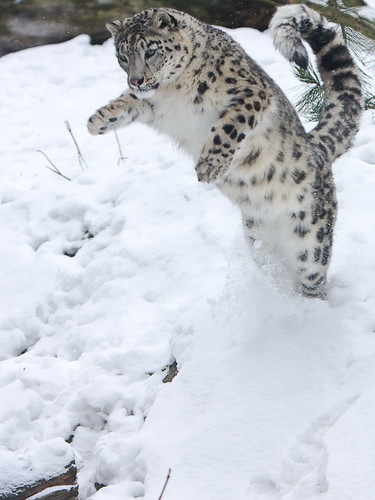 Snow Leopard Attack | A playful snow leopard in ...