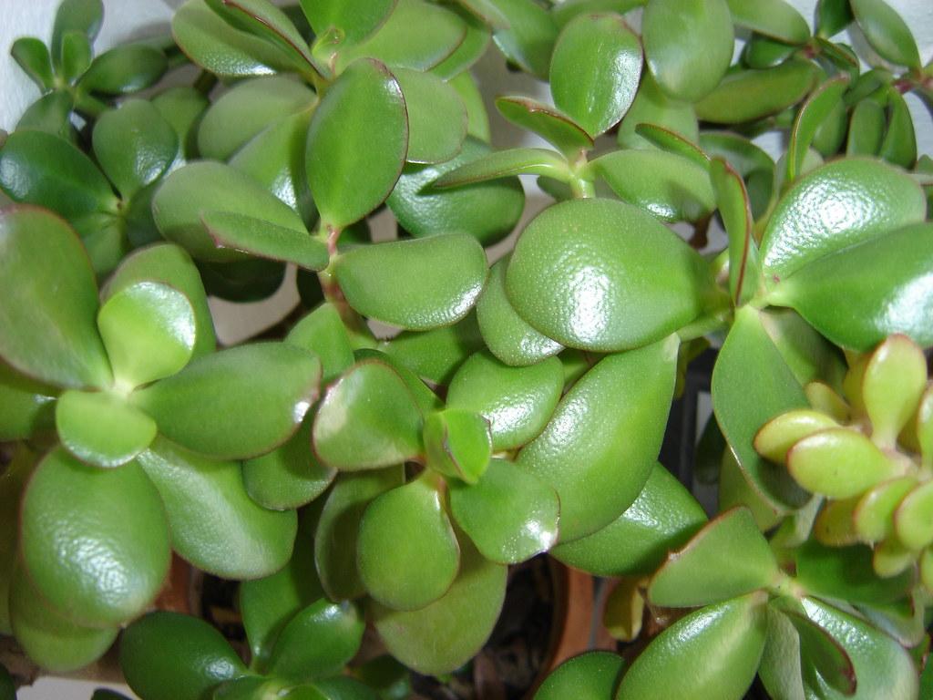 Resultado de imagen para planta de hojas redondas