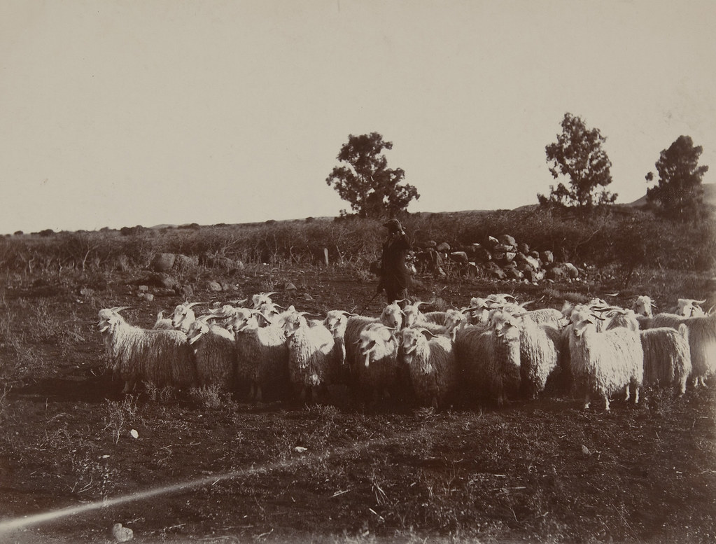New Zealand (sheep and herder) | by Museum of Photographic Arts Collections