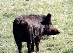 wild pig1 | by Contra Costa Times