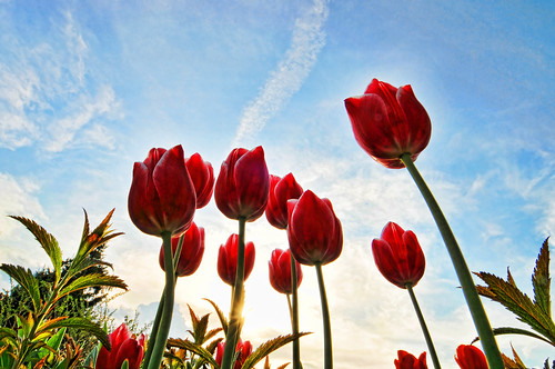 Red tulips | by Tambako the Jaguar