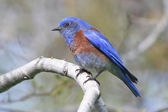 Western bluebird vs eastern bluebird