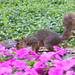Squirrels in the Flowers at the University of Michigan