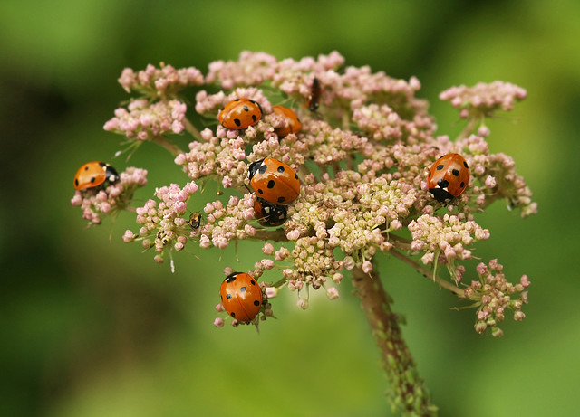 Ladybirds - lots of them! | by nutmeg66